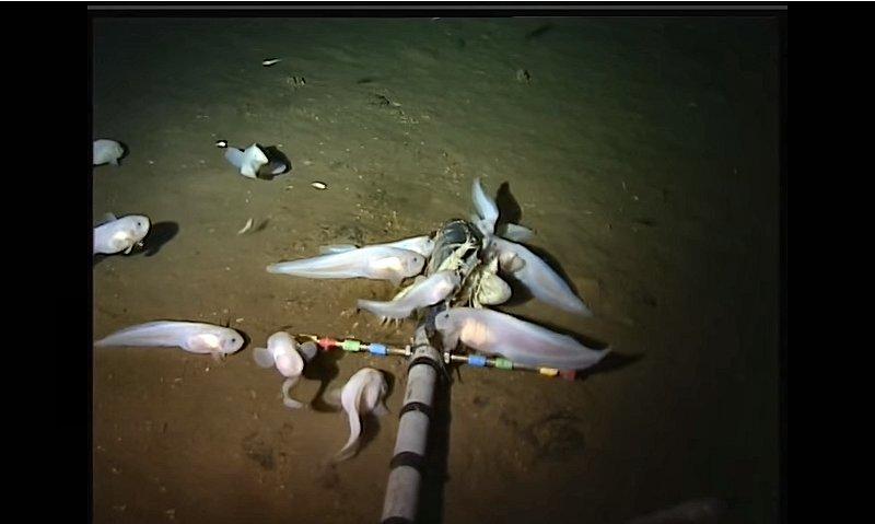 マリアナ海溝の深海魚(米ハワイ大のサイトより)